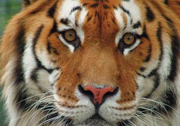 home willkommen im tiger garten waldeck e v 55218 ingelheim am rhein. Black Bedroom Furniture Sets. Home Design Ideas